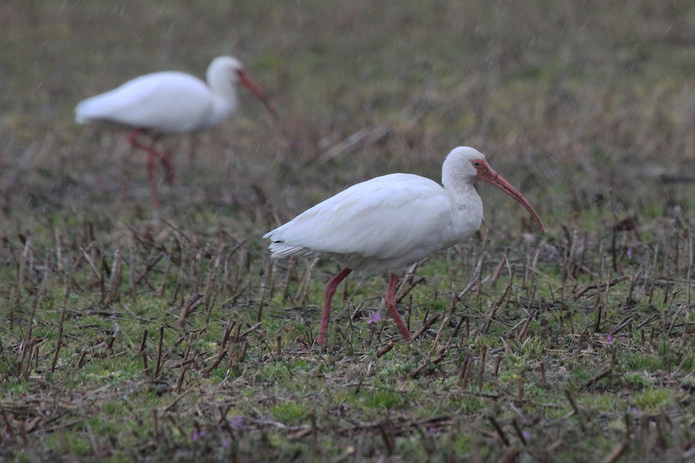 White Ibis / 16 Feb / Charity Neck Rd.
