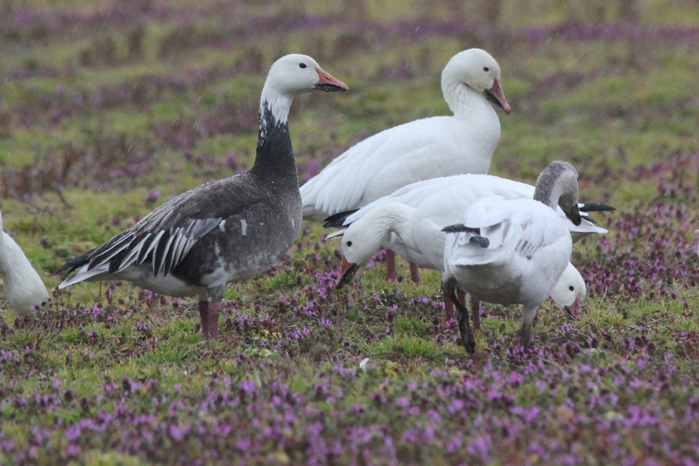 Snow Geese / 16 Feb / Charity Neck Rd.