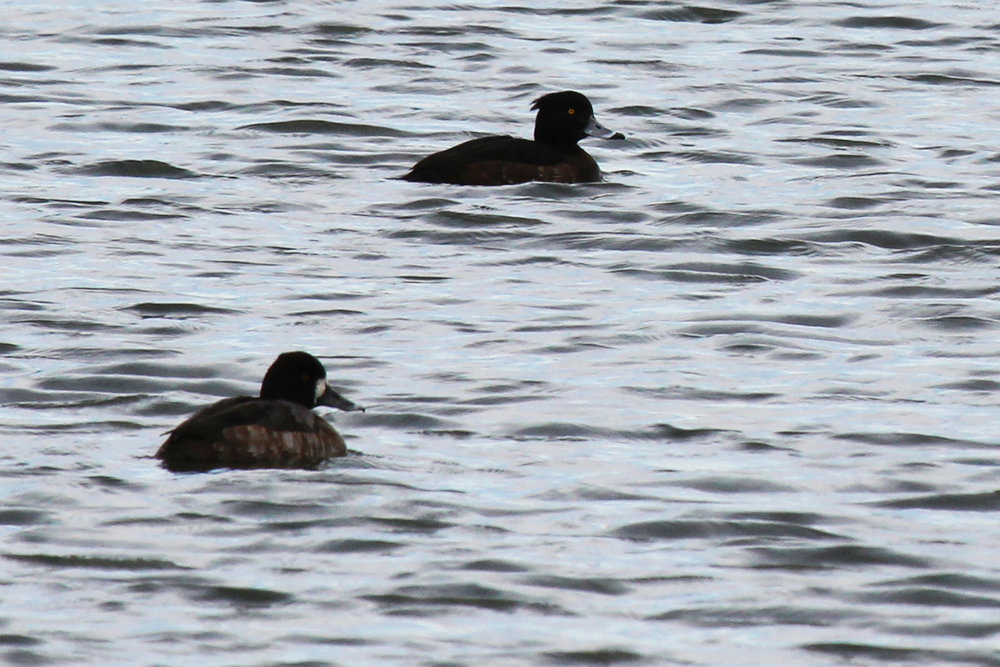 Tufted Duck & Lesser Scaup / 19 Feb / Chartway Federal Credit Union lake
