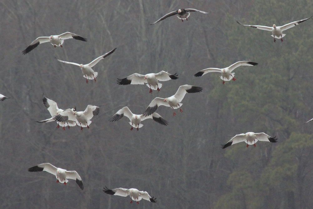 Snow Geese / 24 Feb / Gum Bridge Rd.