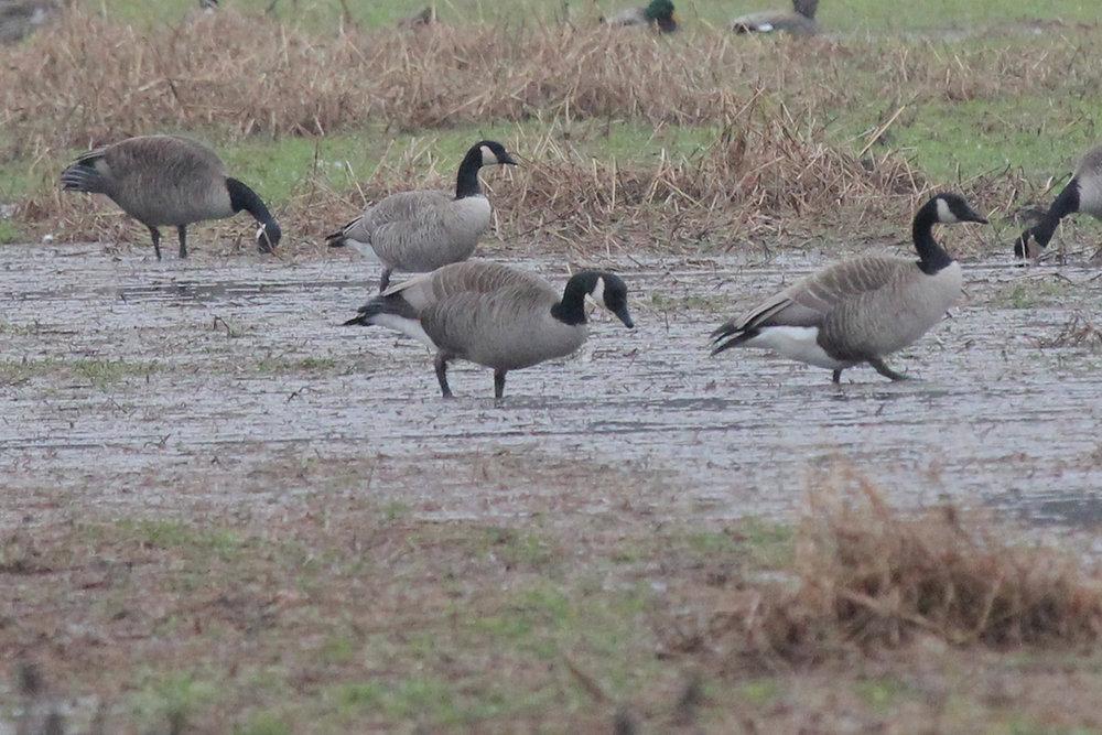 Canada & Cackling Geese / 24 Feb / Gum Bridge Rd.
