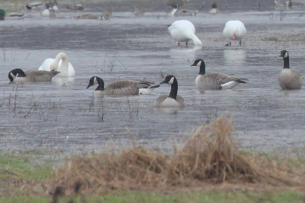 Canada Geese, Tundra Swan, Snow Geese & Cackling Geese / 24 Feb / Gum Bridge Rd.