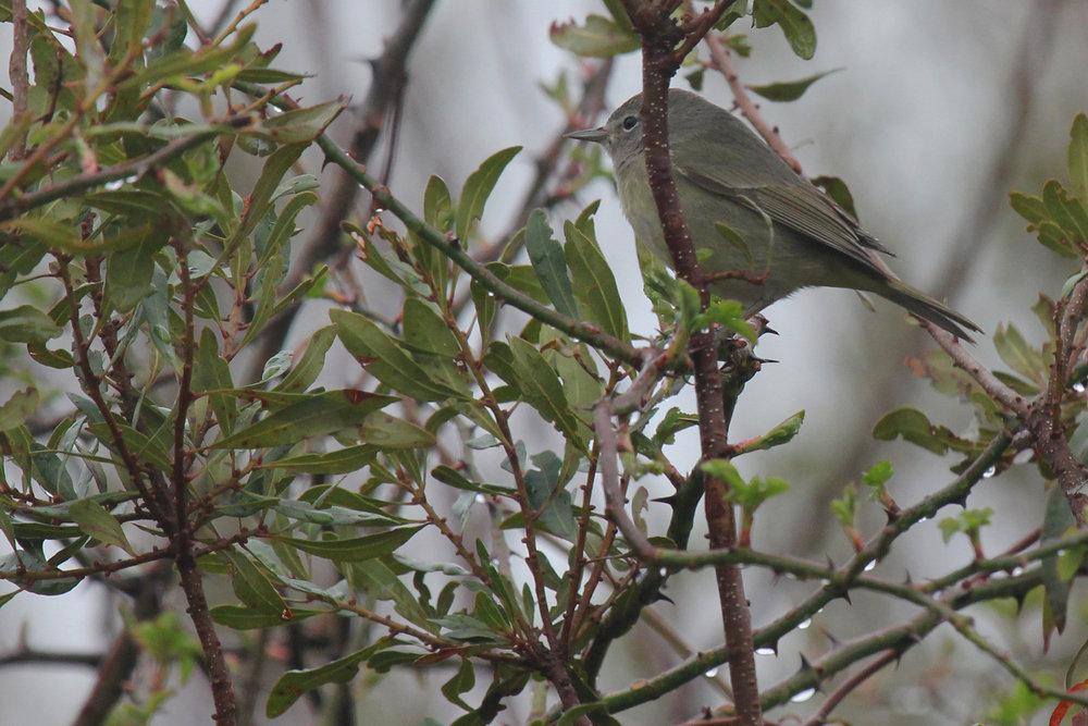Orange-crowned Warbler / 24 Feb / Princess Anne WMA Whitehurst Tract