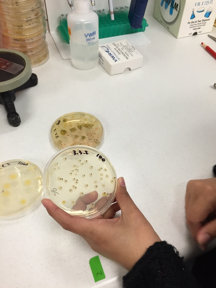 Colonies on the agar are manually counted