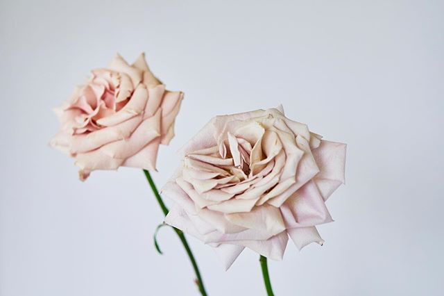 Petal Perfection! Mother of Pearl rose in the foreground and Quicksand rose in the background.