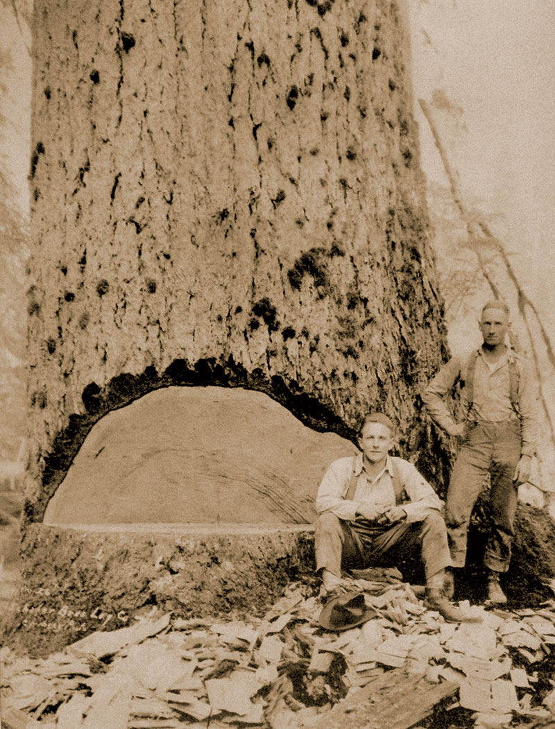 Our family began logging in 1893 in the Satsop River Valley. Pictured here are brothers John and Carl Schafer next to a giant fir tree. (11 feet in diameter)