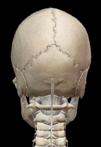 Skull & neck bones from behind