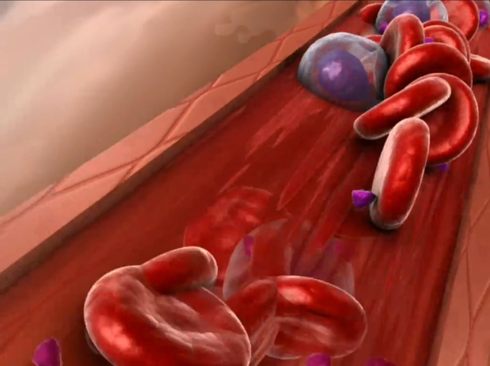 Blood cells in cross section of a blood vessel,  Image from Visible Body A&P app