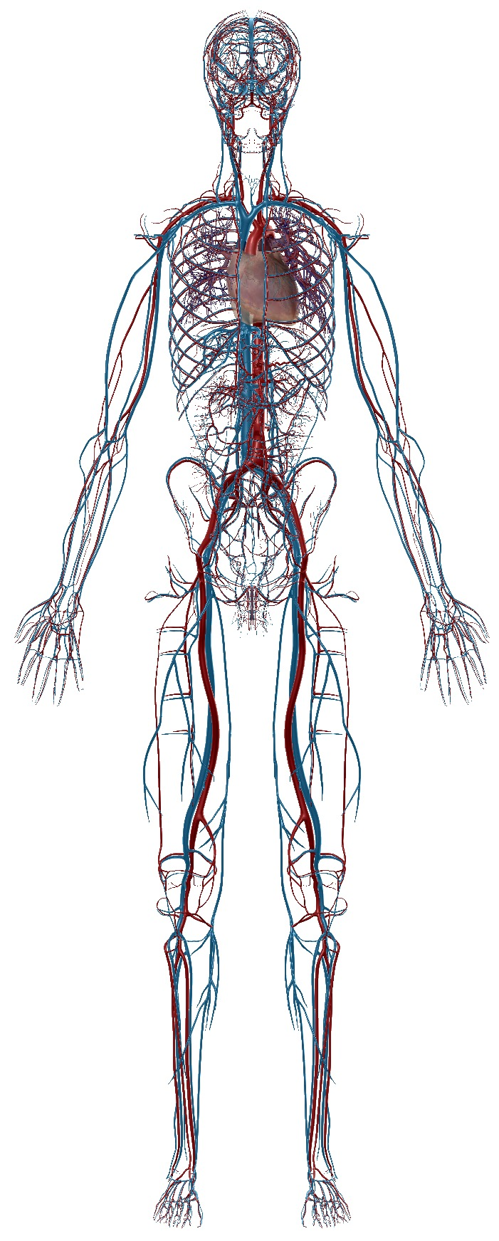 The Circulatory System, arteries, veins & heart,  Image, Visible Body Atlas app