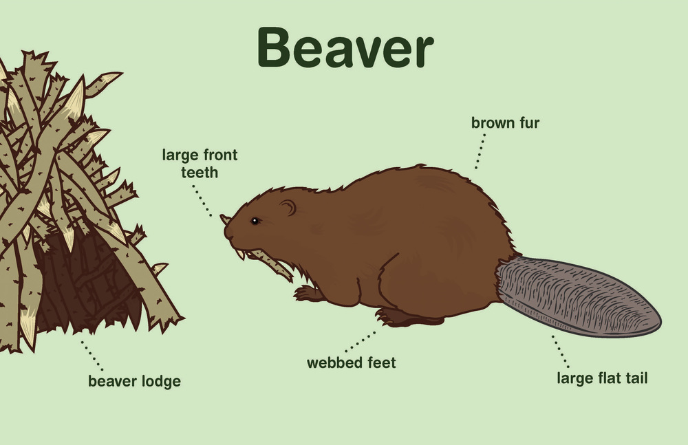 "Educational Beaver Mural for the Little Red Schoolhouse Nature Center | Adobe Illustrator, 51""x33""."