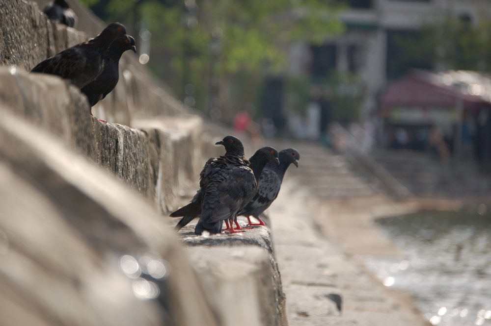 I'm probably the only one, but I think pigeons are pretty cool. Think about it: they are the only bird that lives in every city in the world.I like to think they are like people... just trying to survive no matter where they are. This was taken on the steps of Boat Quay.
