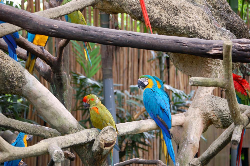 Parrots at the Jurong Bird Park, Singapore.