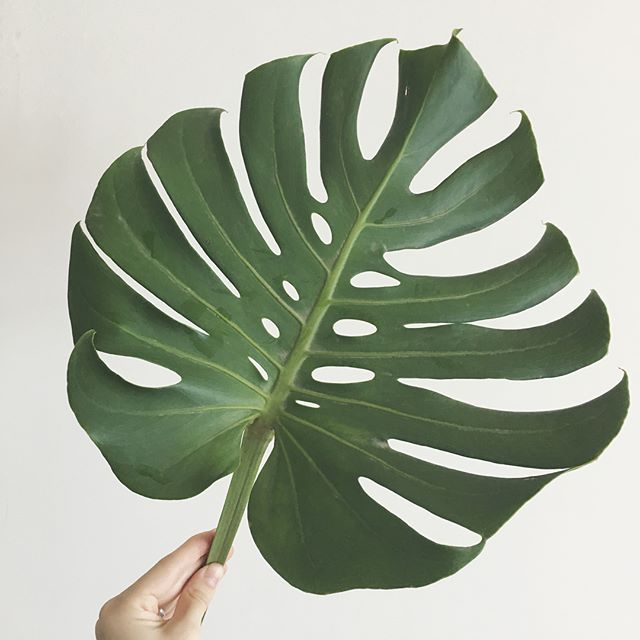 Monstera leaves = wanderlust for the tropics! Swipe ➡️ to see how I mixed these guys with my giant peonies to spruce up my rather sad bar cart. Hope the ginger jar style vases did you proud @rydersloanevents 😊
