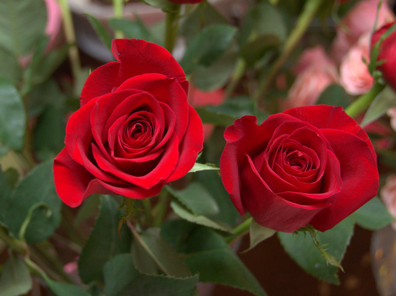 red roses from my love
