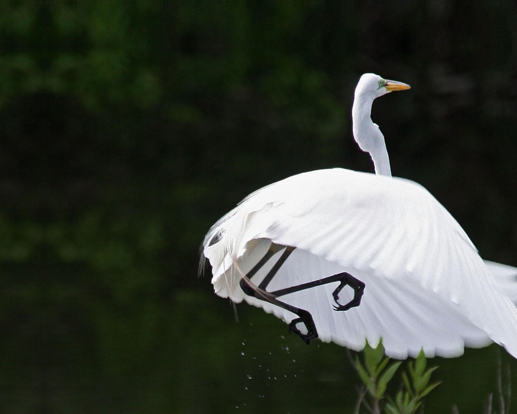 egret on Contraband Bayou