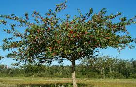 a mayhaw tree