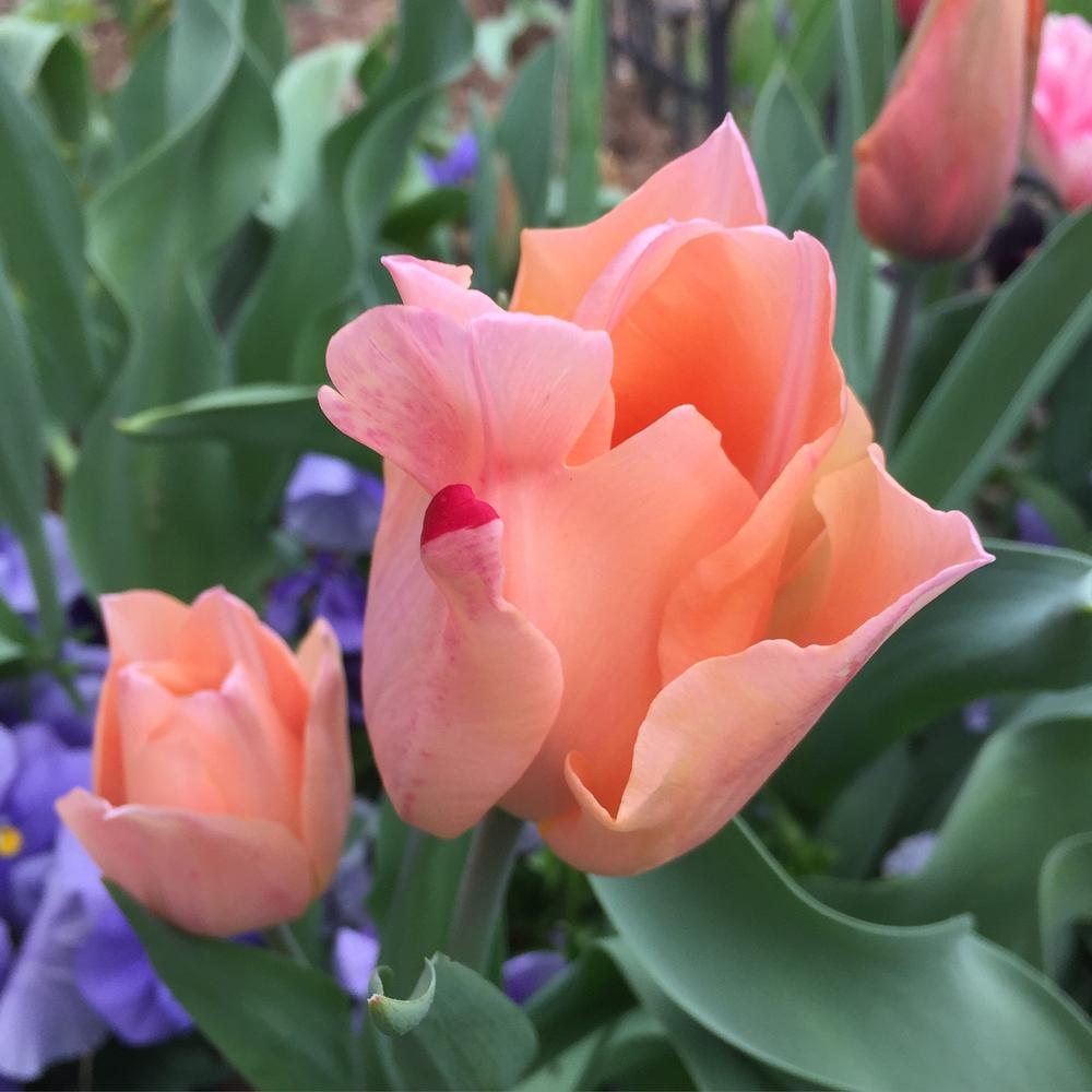a tulip in my yard