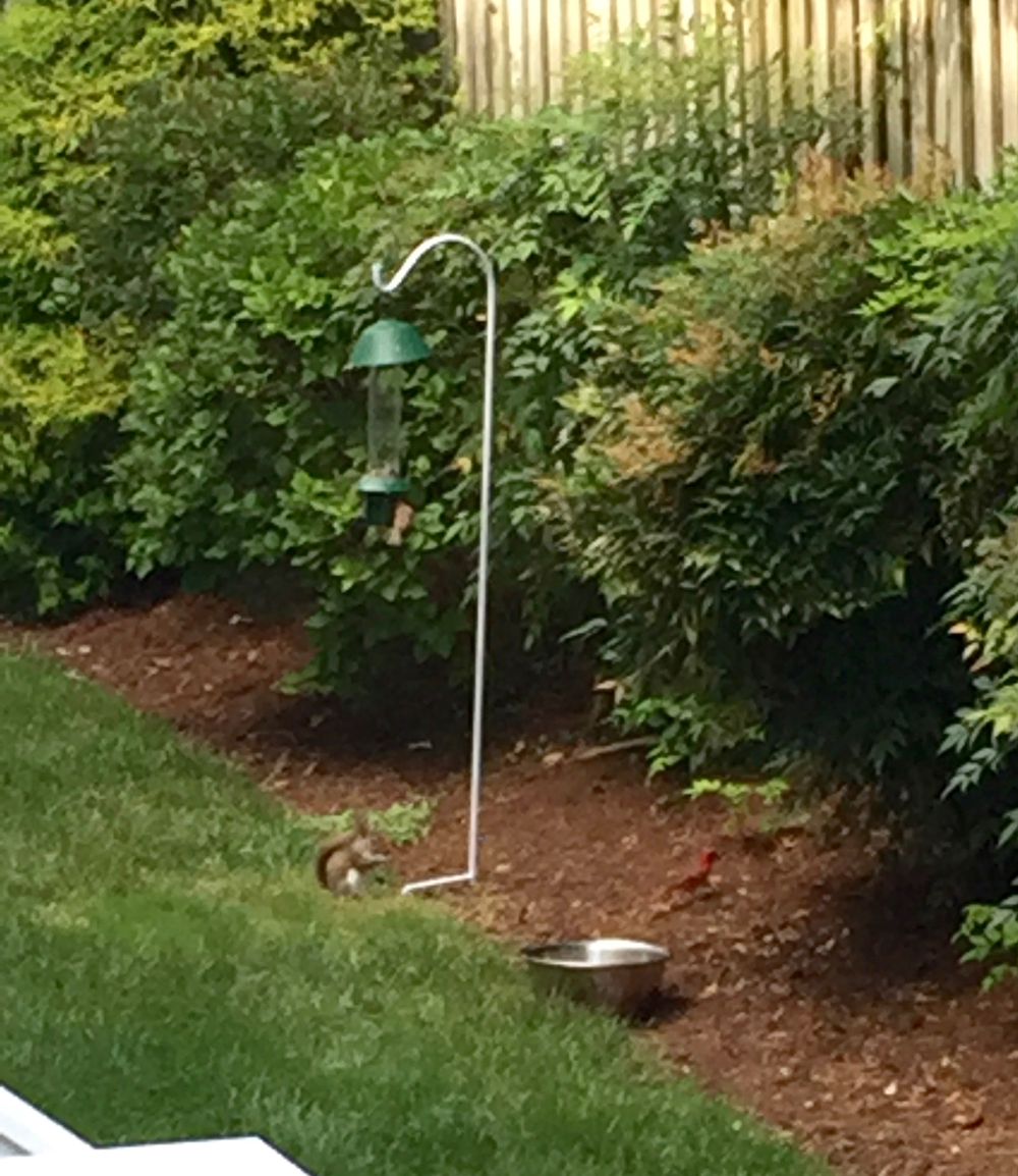 somewhat blurry because i had to be stealth, but you can a squirrel, cardinal and a finch. That bowl is full of water- do you think anything will jump in or drink from it?
