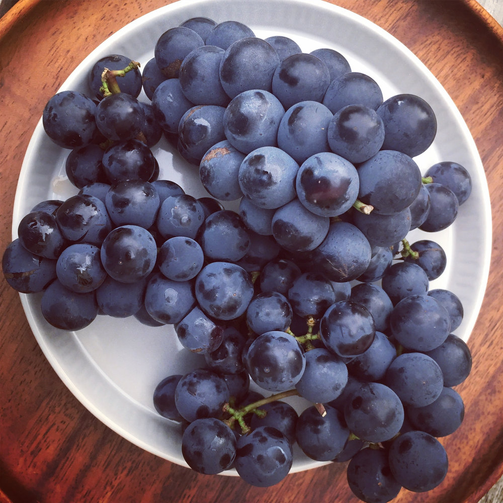 incredibly juicy, tangy Concord grapes from a local farmers market