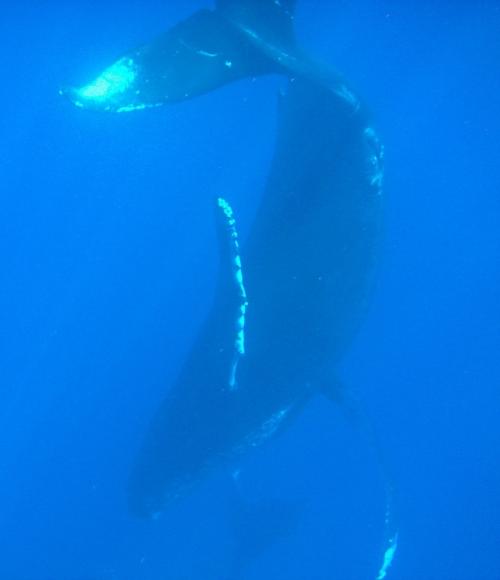 great whale.jpg