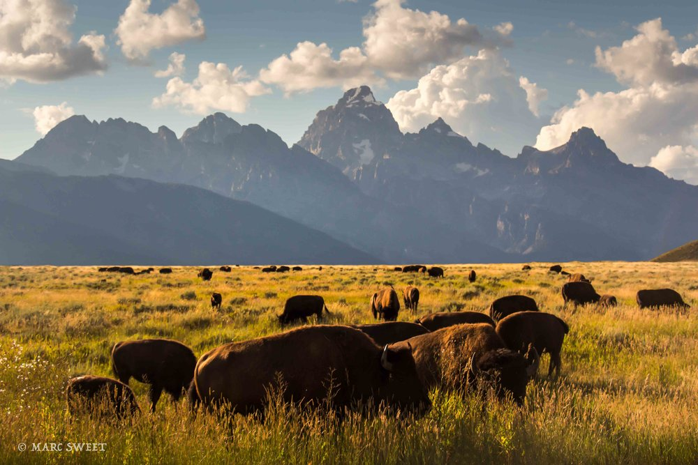 bison tetons-Edit.jpg