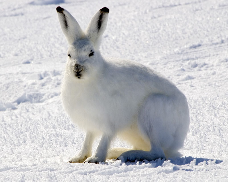 Arctic Hare . 2017. By Steve Sayles on  Flickr . Under  Creative Commons 2.0
