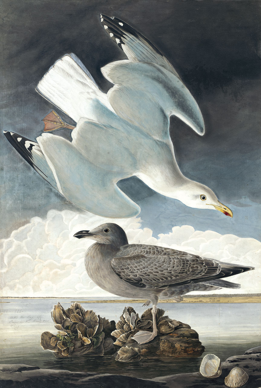FOWL INTENTIONS:  HERRING GULL WATERCOLOR ( Larus argentatus ) by John James Audubon with George Lehman, 1831.  Purchased for the New-York Historical Society by public subscription from Mrs. John J. Audubon, 1863.