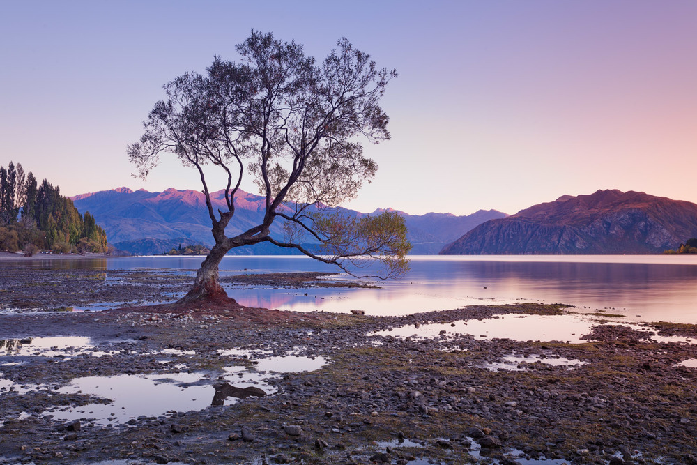 The famous lone tree in Roys Bay in Wanaka, New Zealand.