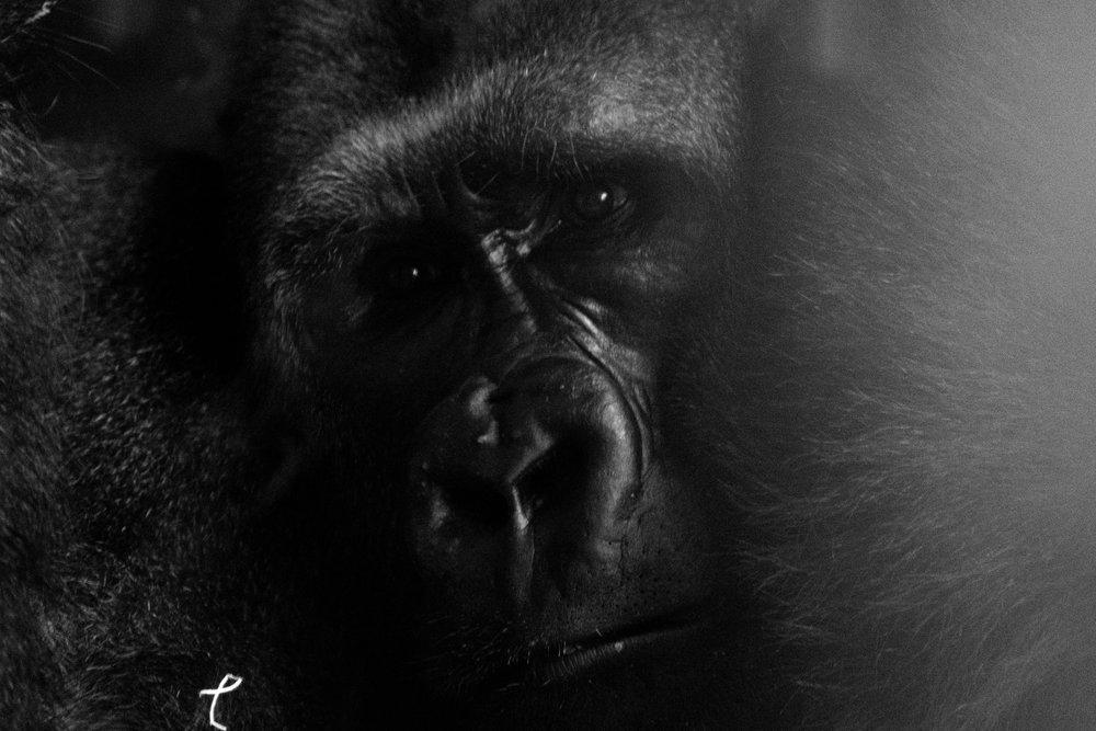 gorilla 1 bw.jpg