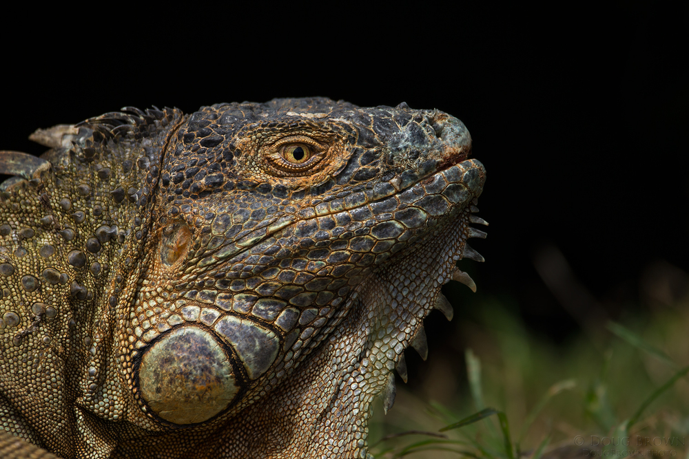Iguana photographed at eye level in Costa Rica. For this image I used the 150-600 Contemporary at 531 mm and the Canon 1Dx (f/6.3, 1/2000, ISO 400, hand held).