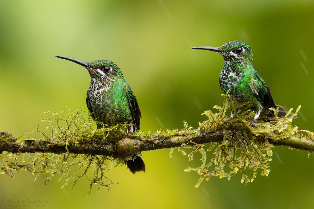 Green-crowned Brilliants in the rain. Here I chose the 150-600 Contemporary at 403 mm and the Canon 1Dx (f/6.3, 1/640, ISO 1600, hand held) to photograph the birds.