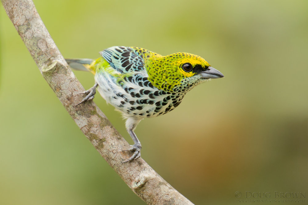 20150209-_D4A2043-Speckled-Tanager-4x6.jpg