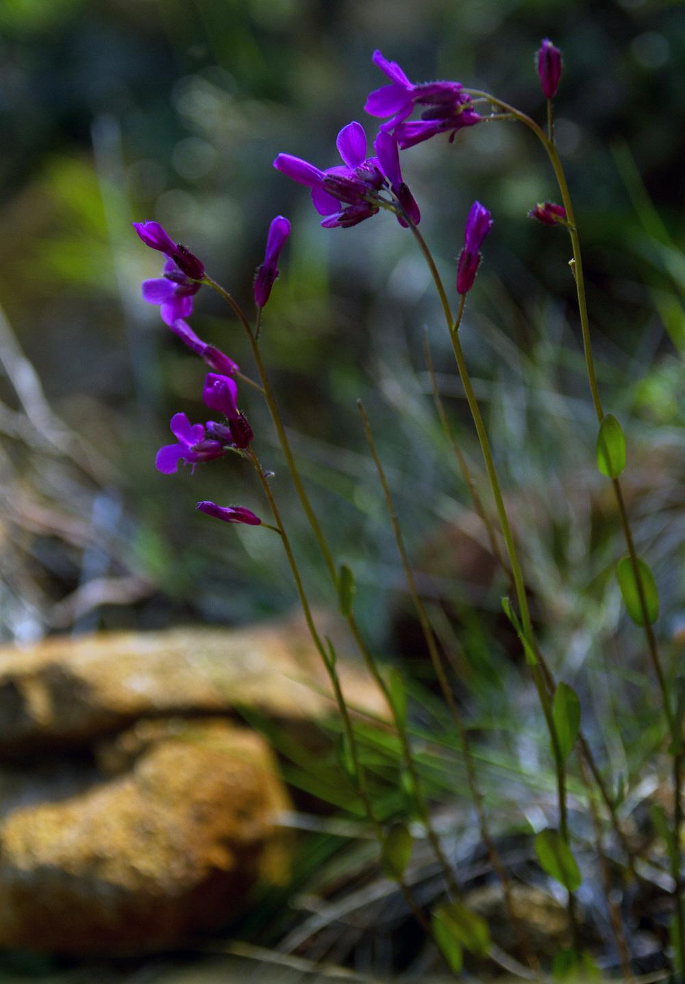 Rockcress, Arabis spp., photo (c) Darren Campbell 2015