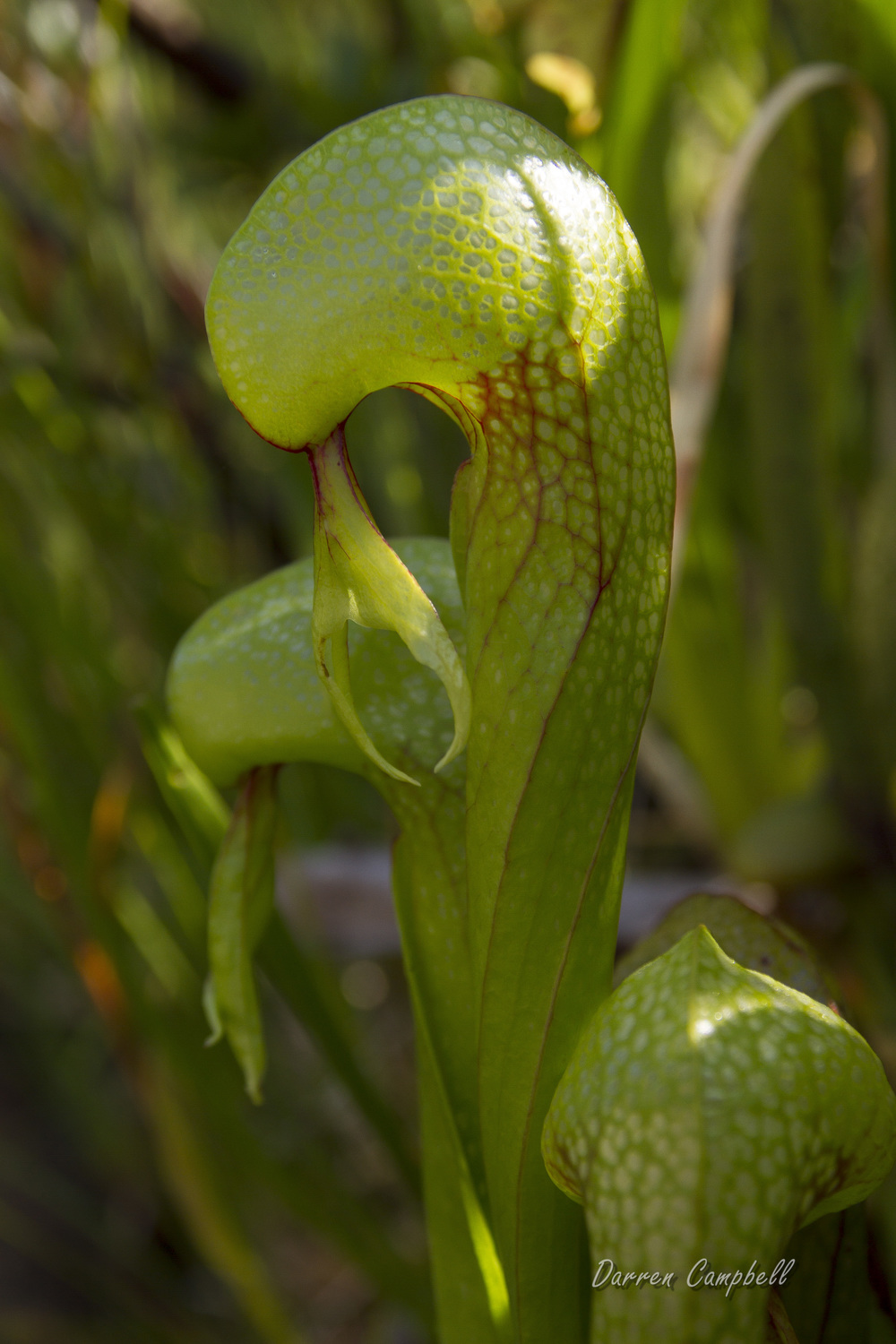 Cobra lilly, Darlingtonia californica, photo (c) D. Campbell 2015