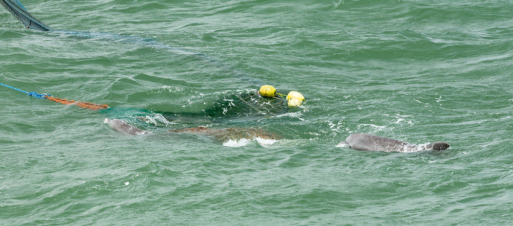 A couple of dolphins following the nets of the shrimp boat.