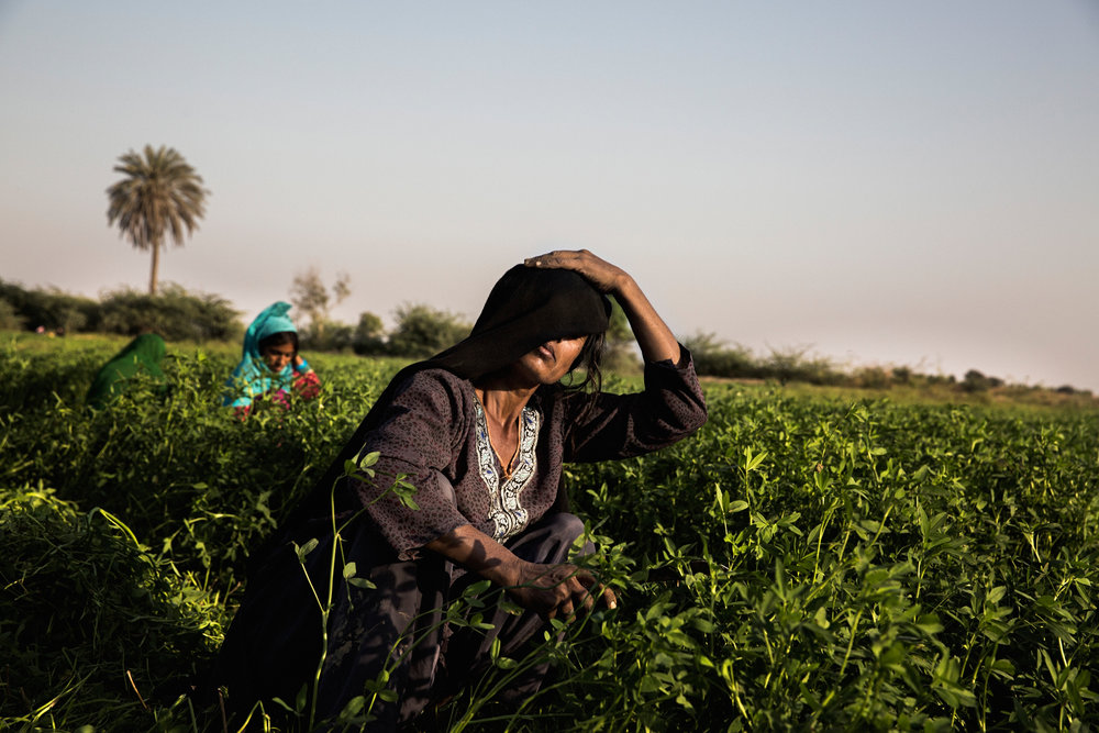 A woman in Noor Muhammad Thaheem harvests plants for livestock. People used to grow crops here for human consumption, but with seawater seeping into the land due to changes in climate, the soil has become too saline to grow food.