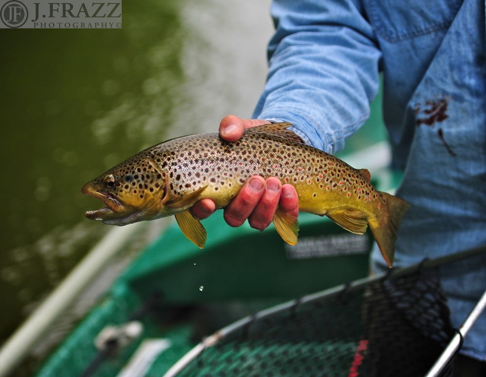 fly fishing Delaware River Sweetwater Guide Service Brown trout