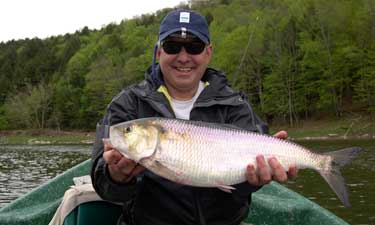 Shad on a dart Delaware river