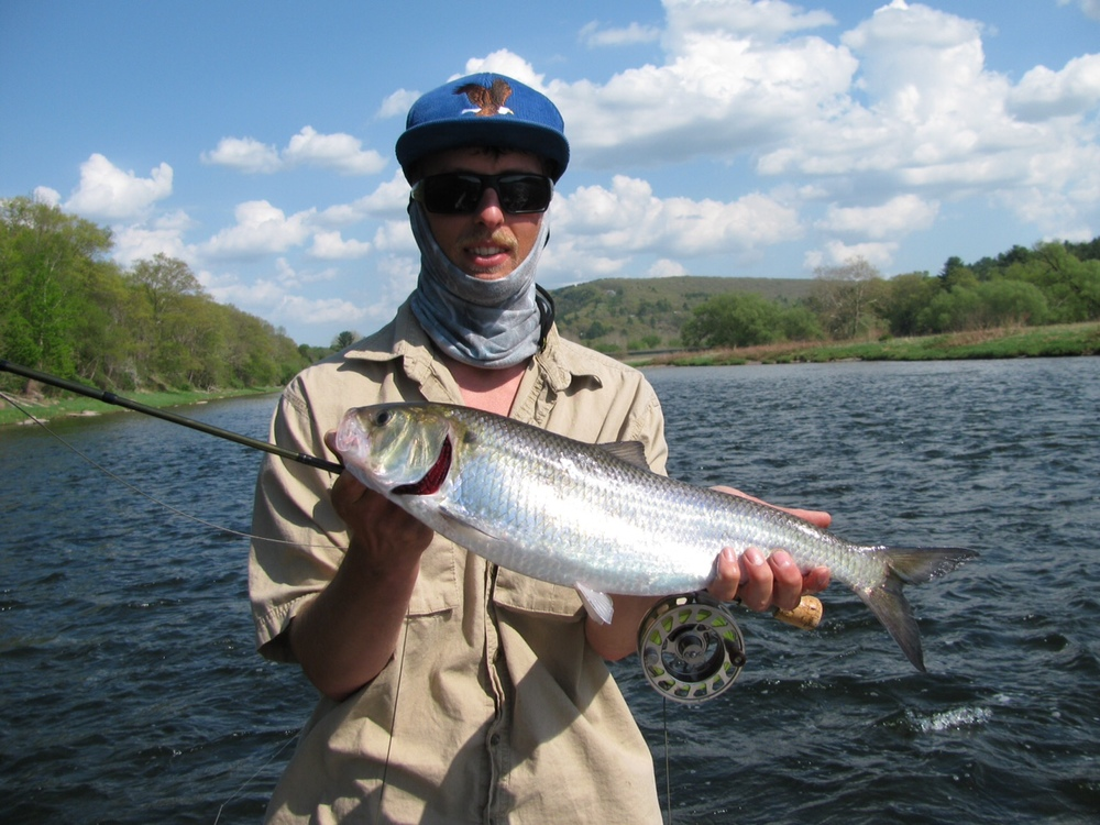 Guide Evan P. finds a nice Shad on the fly rod!