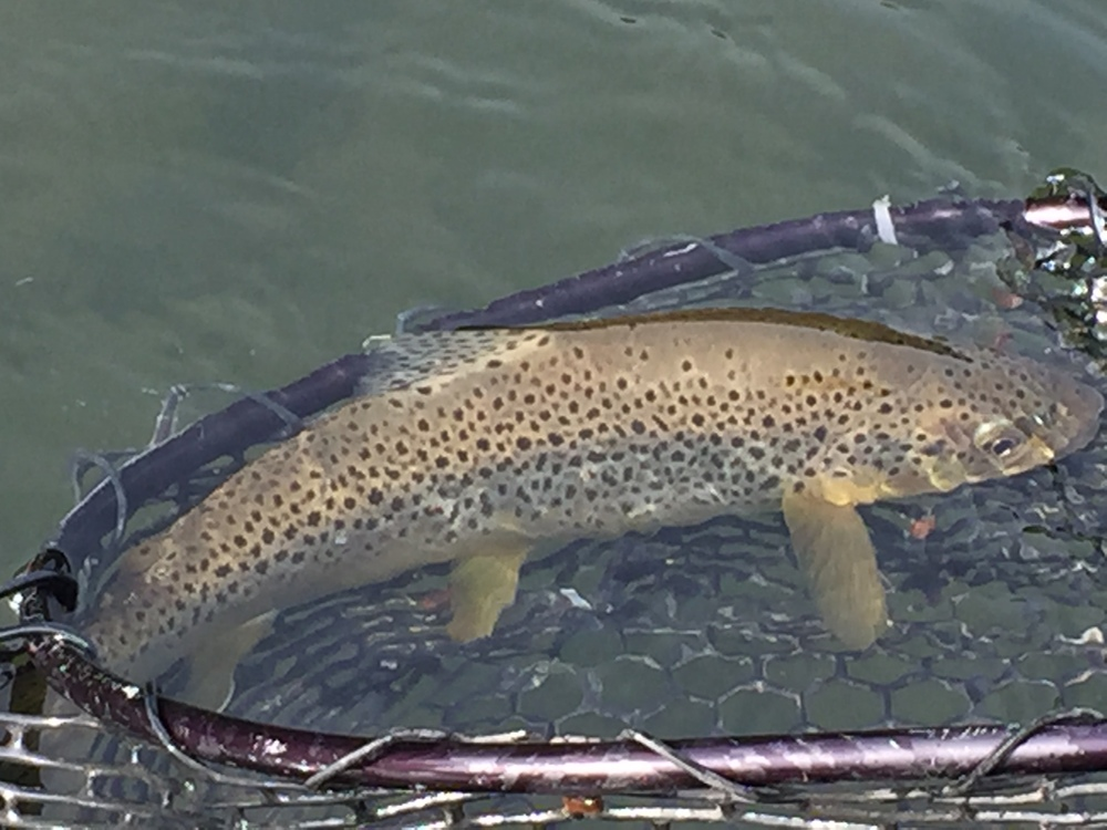 Beautiful Brown trout ready for relelase!