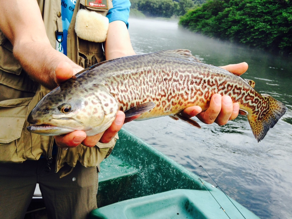 "7/7/15  John caught this rare 20"" Tiger trout!  Beautiful Fish!"