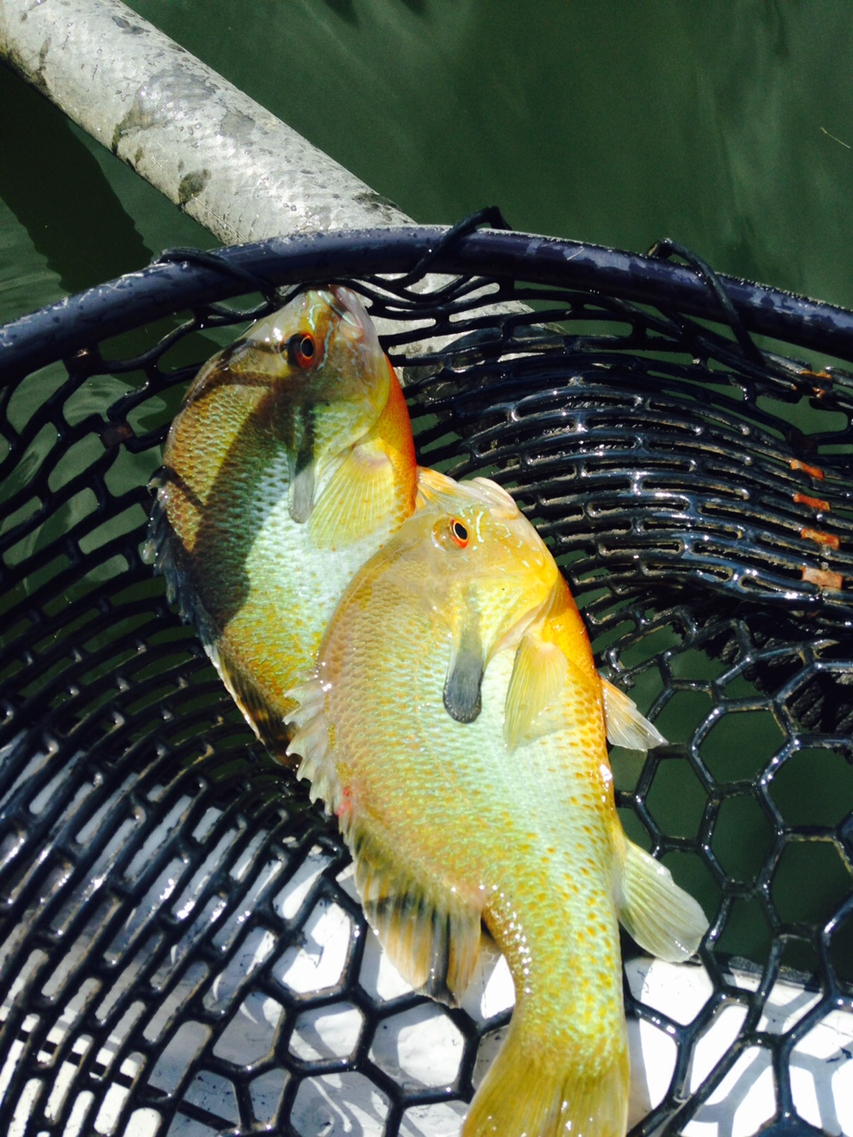 7/10/15  Found 2 river Sunfish, and pulled them out of school.