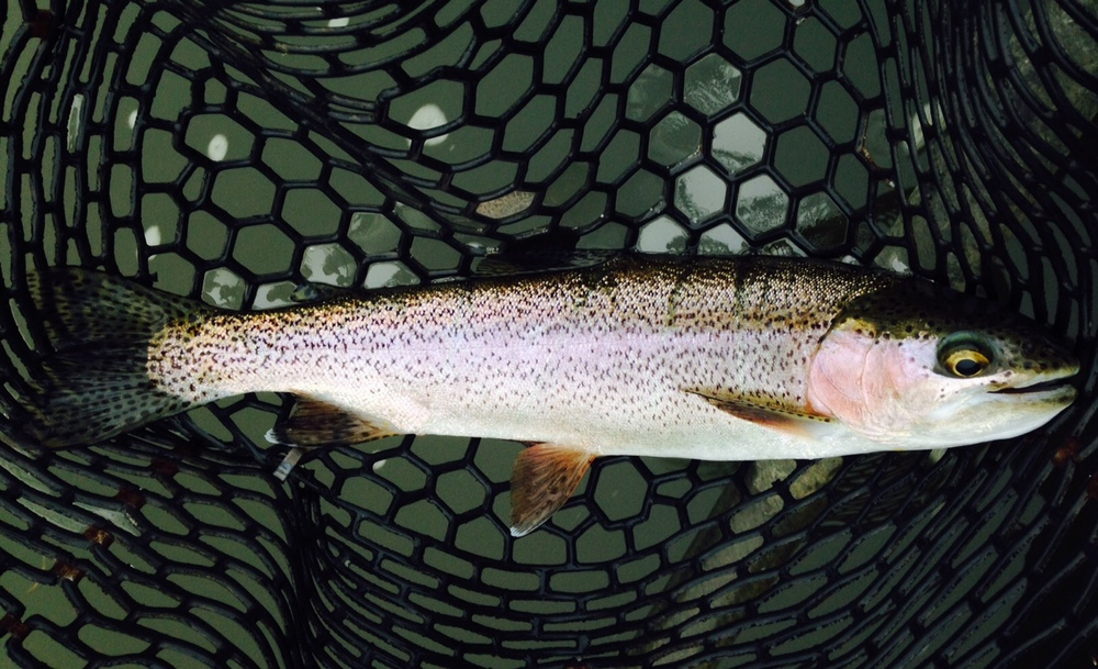 "09/19/15A 16"" rainbow finds the net early this morning"