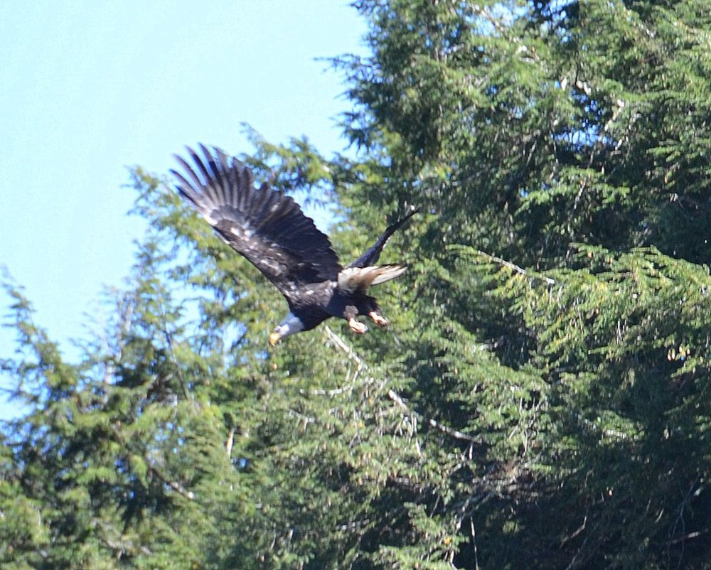 10/10/15 Bob L. captures an eagle in flight!