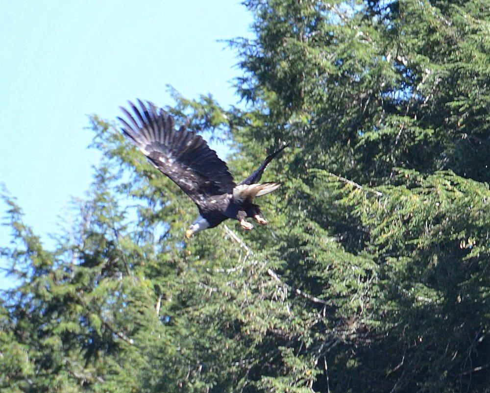 10/10/15 Bob L. captures an eagle in flight!