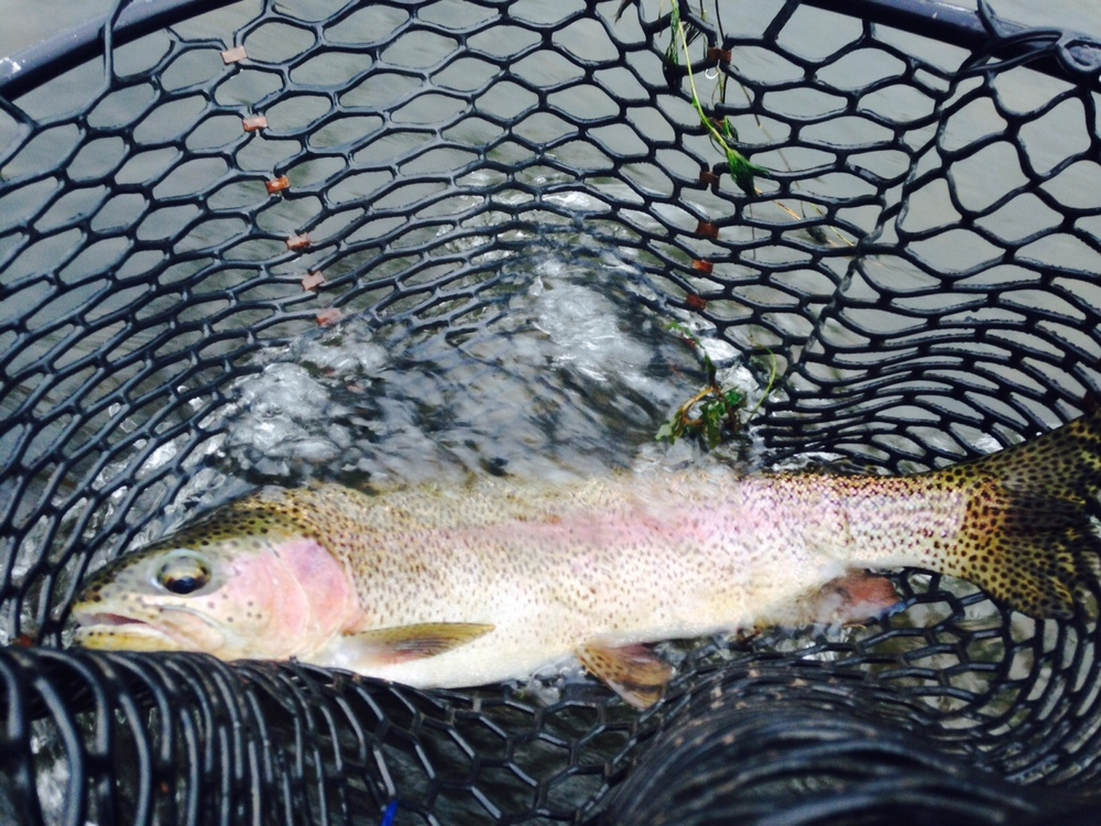 "10/12/15 John G. catches an early A.M.  18"" Rainbow trout on the West Branch!"