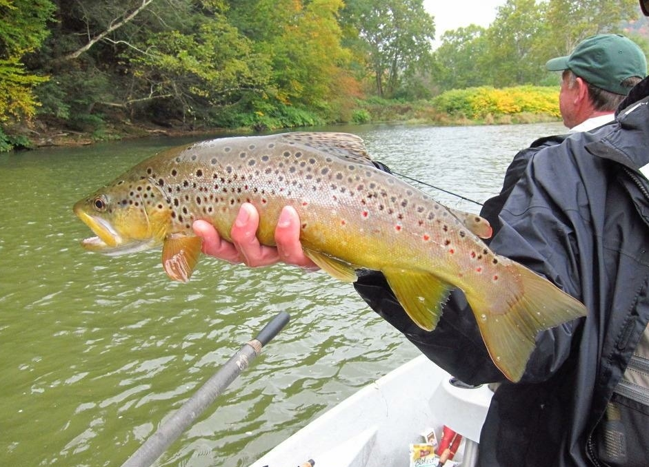 "10/9/15 Fall 19"" Brown Trout on the West Branch!"