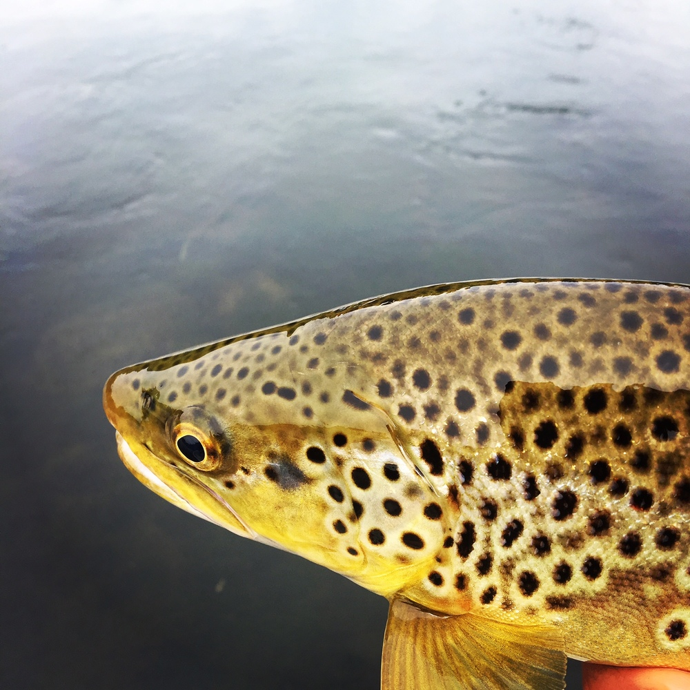 Nice colors Brown trout.