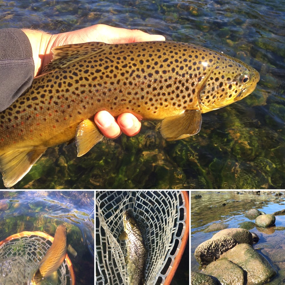 Fall colors on these Brown trout. Bug casings exposed due to low water.