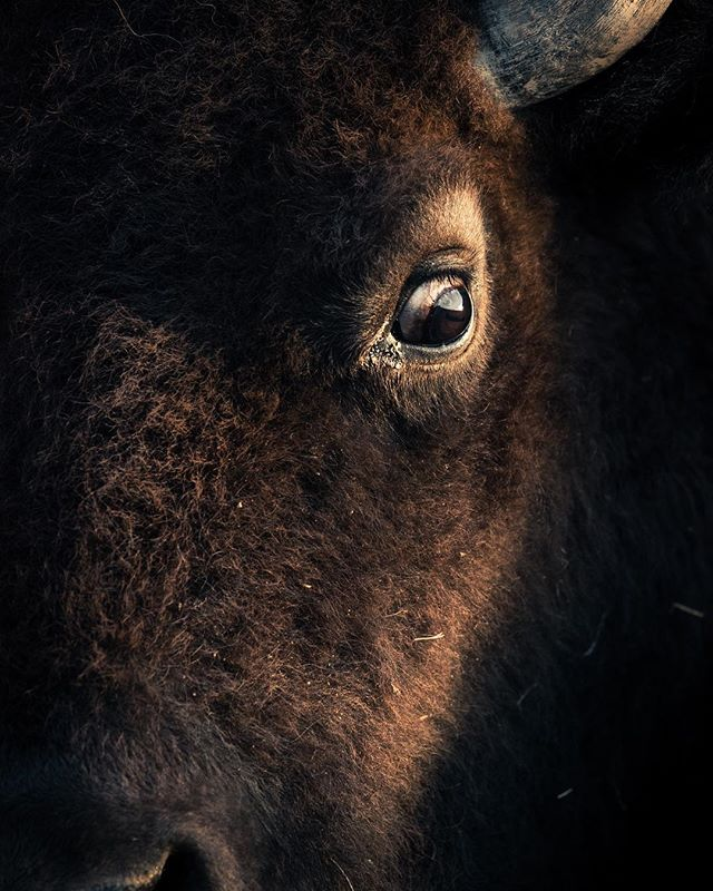 Mr. Bison. Hit the link in the bio for the behind the scenes of this shot.  #bison #coloradobison #canon1dxmarkii #wildlifeofcolorado #naturephotography #wildlifephotography